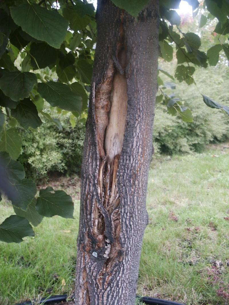 Tronc fendu d 39 un tilleul est il condamn for De l arbre au meuble