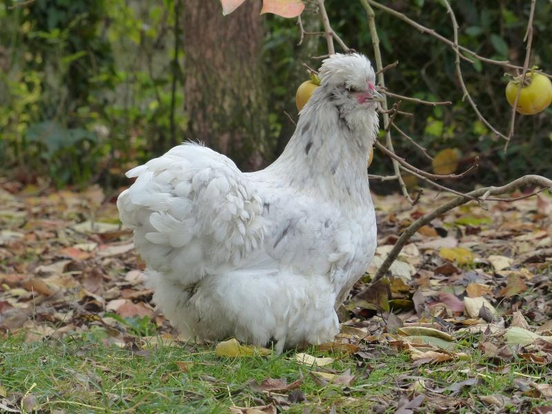 poule soie a vendre suisse
