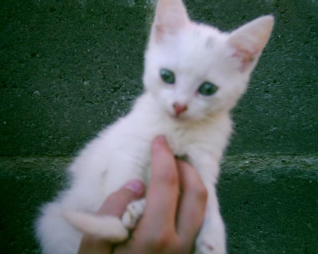 Chantilly chaton blanc femelle yeux gris vert - Yeux vert gris ...