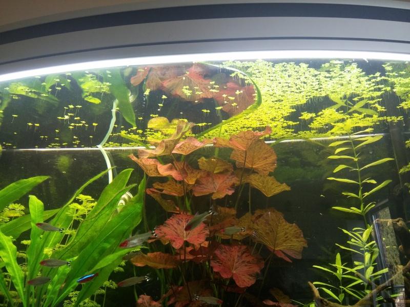 lentilles d'eau dispersées à la surface de l'aquarium