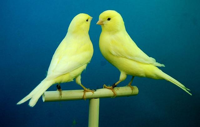 Photographie de deux canaris