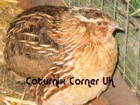 Coturnix Corner UK