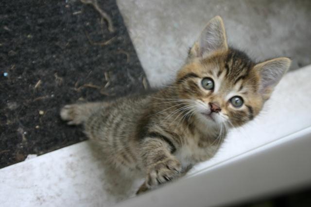 Gavroche chaton tigr tout mignon tsd - Chat tout mignon ...
