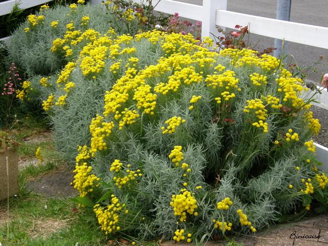 Santolines. dans Fleurs et plantes 640_p721