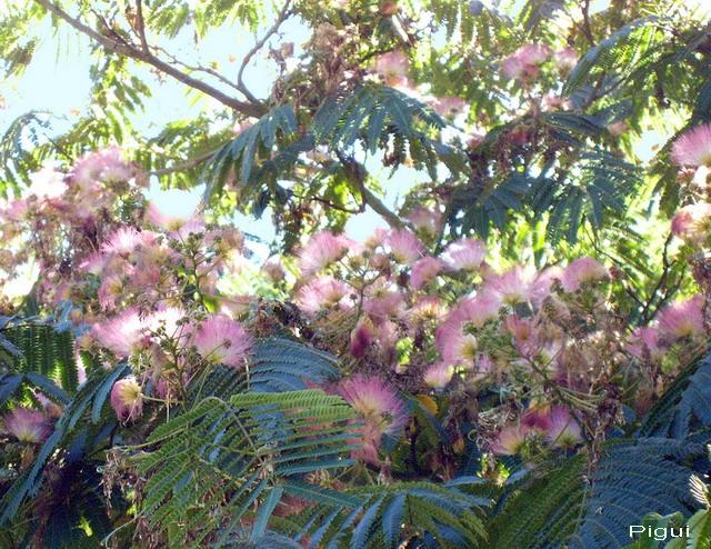 Plantation d'albizias. dans Fleurs et plantes st_gou10