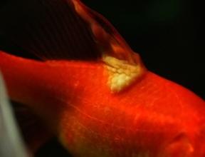 Les maladies virales du poisson rouge for Nourriture poisson rouge pour une semaine