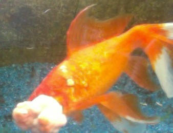 Les maladies virales du poisson rouge for Vente de poisson rouge 75008
