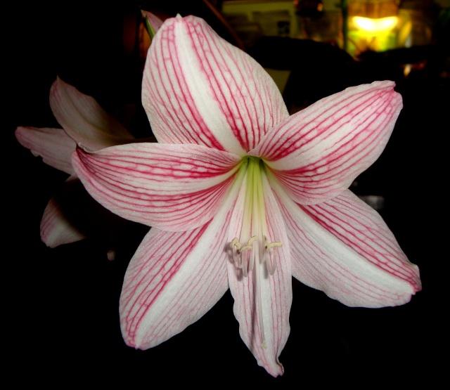 Hippeastrum vittatum striatifolium for Hippeastrum entretien
