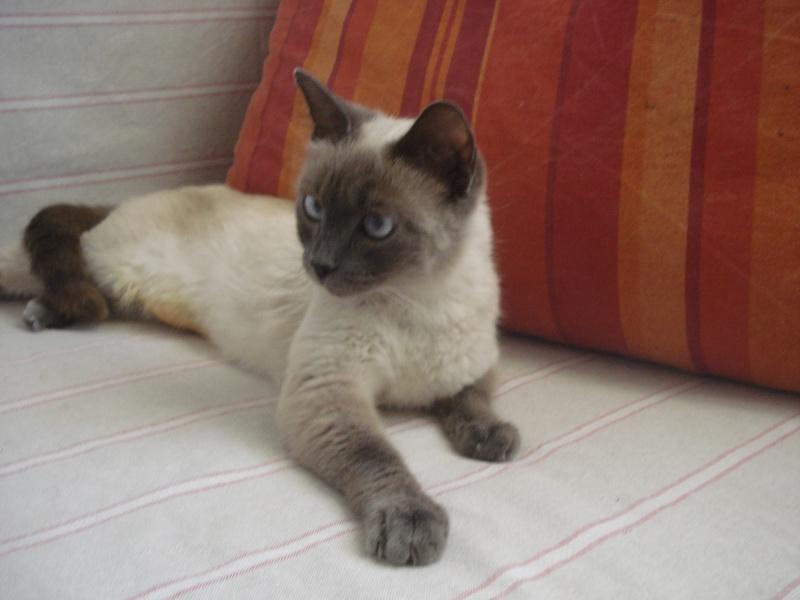 chats siamois birmans etc trouv s sur le net page 13. Black Bedroom Furniture Sets. Home Design Ideas