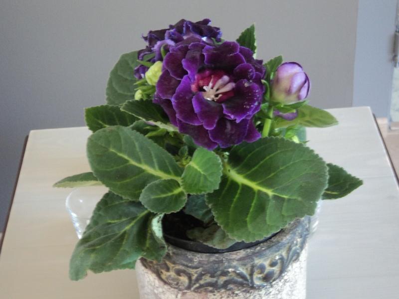 Plante d 39 int rieur fleurs mauves gloxinia - Petite plante d interieur ...