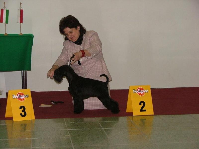Black Miniature Schnauzer Puppy. lack miniature schnauzer