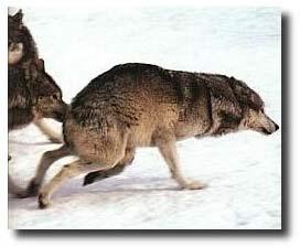heult ein husky