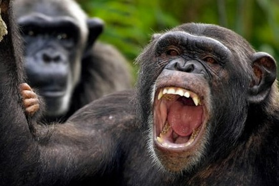 Mammifère zoologie Ngogo chimpanzés guerre Ouganda