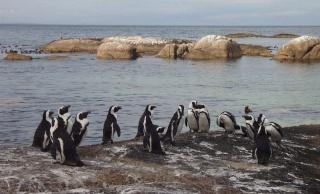 zoologie perte de plumes manchots du cap manchots de Magellan Argentine Afrique du Sud Spheniscus demersus problème inconnu forum population en danger avril 2011