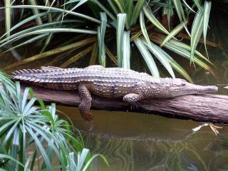 zoologie forum attaque Australie pêcheur reptile saurien Northern Territory News hôpital royal de Darwin rivière Adelaide avril 2011 crocodile de Johnston Crocodylus johnsoni Crocodylus porosus crocodile marin frappe dans les yeux