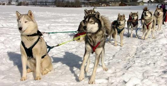 zoologie protection des animaux canidés police canadienne forum massacre chiens huskys jeux olympiques de vancouver canada scandale