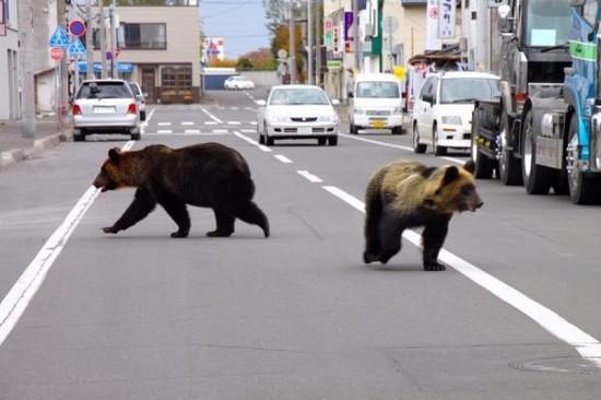 zoologie île de Hokkaido attaques d'ours plantigrade 21 octobre 2010 Japon protection des animaux mammifères Fukushima milieux urbains Shari