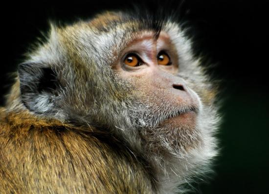 zoologie macaque tue enlève kidnappe enfant nourrisson nouveau né bébé 4 mois 07 octobre 2010 Seremban Kuala Lumpur Malaisie