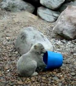 zoologie ursus maritimus aalborg danemark denmark bear ours polaire insolite seau forum Augoamusant drôle