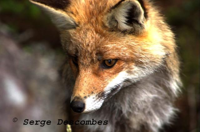 zoologie forum comportement animal massif de la Chartreuse renard roux vulpes vulpes mammifère peu craintif mai 2011 col de l'Alpe