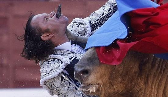zoologie taureau bovin mammifère tauromachie torero encorné Julio Aparicio anticorrida