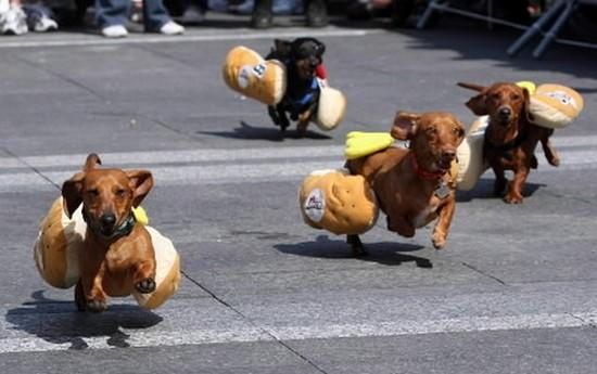 zoologie teckel course Hot dog Oktoberfest Zinzinnati Etats Unis Usa Wiener Dog Races