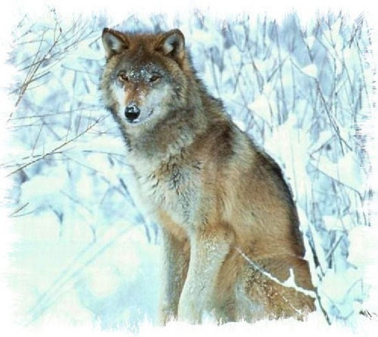 Zoologie WWF biodiversité programme de préservation World Wide Fund for Nature loup gris Canis lupus
