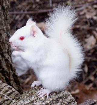 zoologie animal albinos albinisme forum achromie exception génétique mélanocyte yeux rouges mélanine