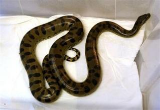 zoologie reptile anaconda Wroclaw Eunectes murinus toilette Wc serpent pologne forum septembre 2010
