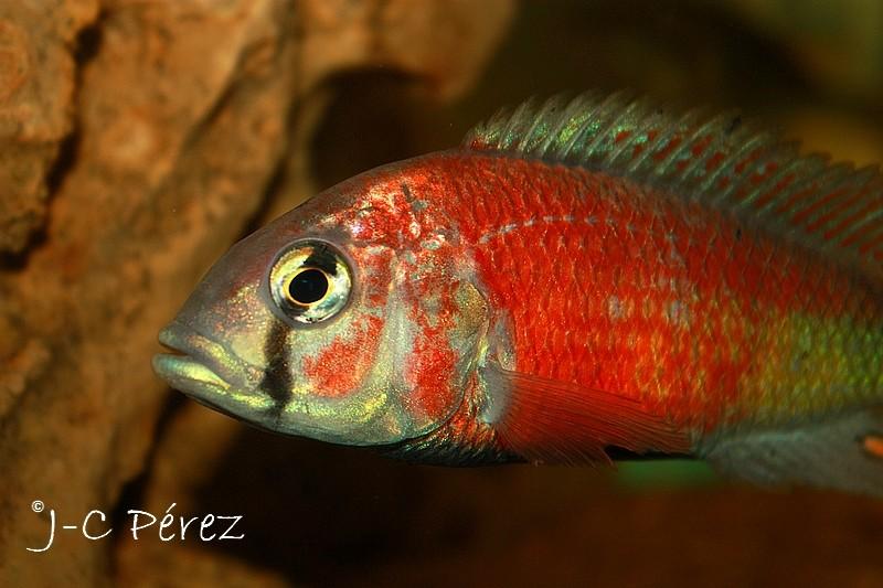 Re: Haplochromis sp. hippo point salmon