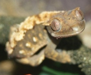 The Crested Gecko Forum