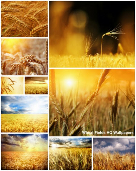 80 Wheat Fields HQ Wallpapers