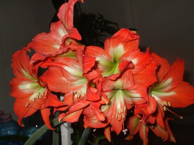 Amaryllis hippeastrum culture entretien floraison for Amaryllis culture