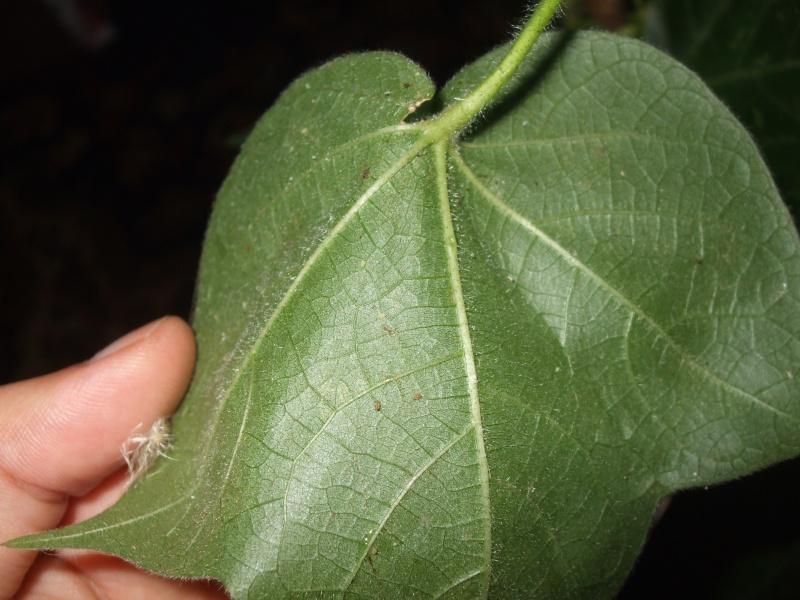 Help pucerons blancs tuent mes plantes - Puceron blanc plante verte ...