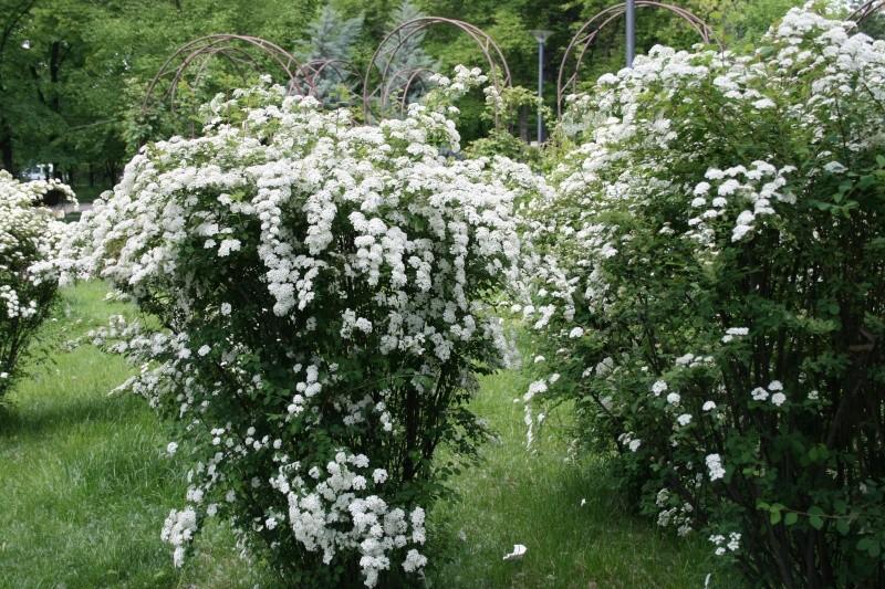 Arbuste A Floraison Printaniere