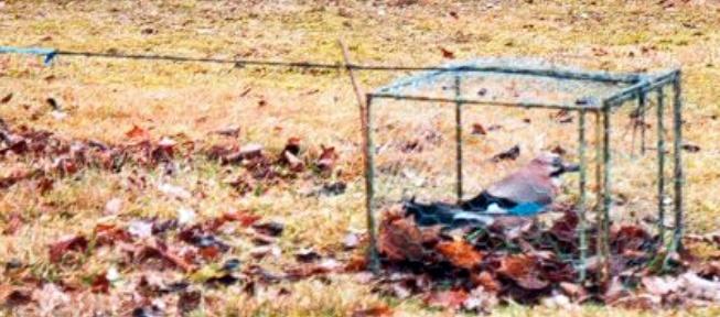 le forum de palombe : chasse aux corvidés - page6