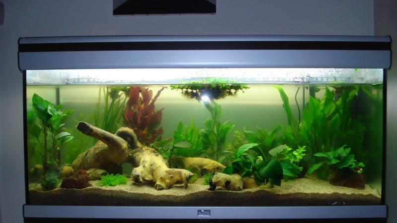 Anubia sur racine for Racine aquarium