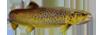 Salmónidos