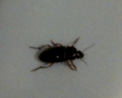 Blatte - Insecte dans la maison ...