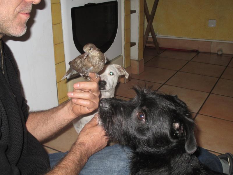 cherche famille d'adoption tourterelle turc 84 [résolu]