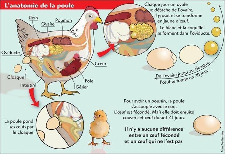 Anatomie poule petit sch ma int ressant for Duree de ponte d une poule pondeuse