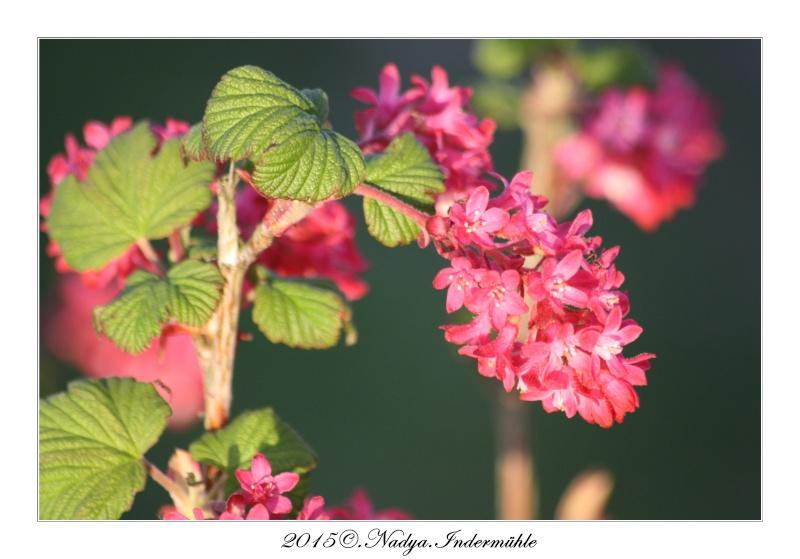 Le groseillier fleur - Fleur commencant par t ...