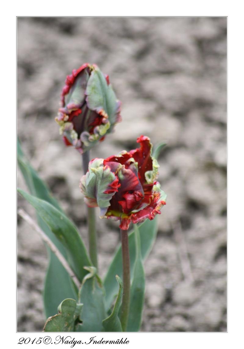 Les tulipes - Fleur commencant par t ...
