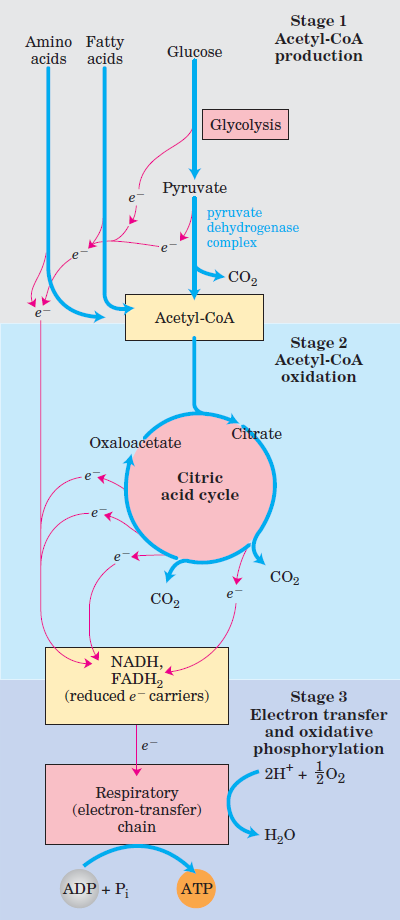 catabolic and anabolic pathways in cellular metabolism
