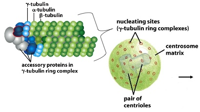 Gamma Tubulin Ring Complex Structure