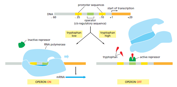 Control of gene expression and gene regulatory networks point to if the concentration of tryptophan inside a bacterium is low left rna polymerase blue binds to the promoter and transcribes the five genes of malvernweather Choice Image