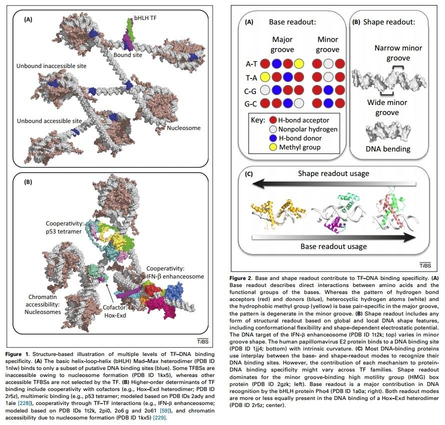 Control of gene expression and gene regulatory networks point to or do not contact dna tf dna binding as dimers figure 3bc or tetramers figure 3d and multiple tfs that bind to dna while forming proteinprotein malvernweather Choice Image