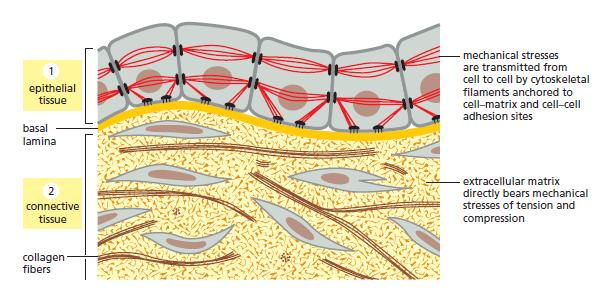 Extracellular matrix - APBiology