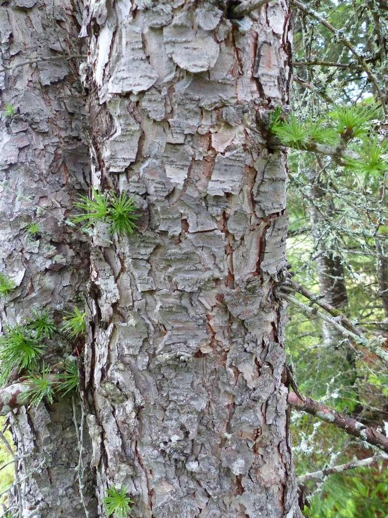 Photo de m l ze larix sp larch larches arbres - Arbres a feuilles caduques ...