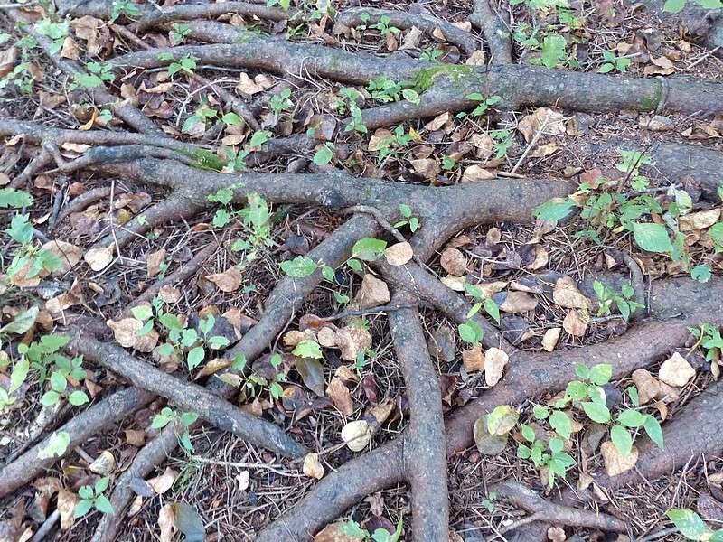 racines d 39 arbre erosion arbre avec les racines apparentes arbre en partie d racin. Black Bedroom Furniture Sets. Home Design Ideas